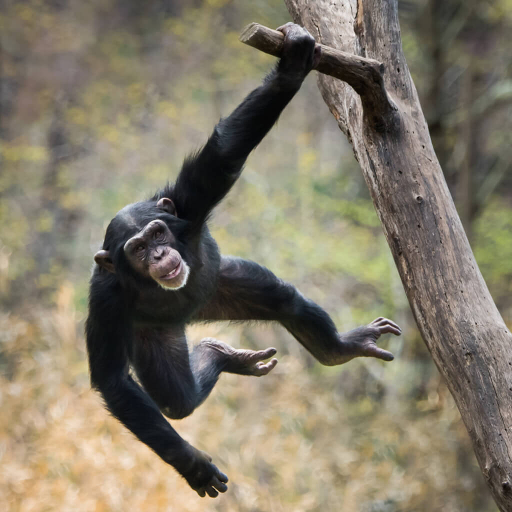 La política de los chimpancés
