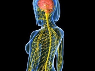 El-sistema-nervioso-central-esta-formado-por-el-cerebro-y-la-medula-espinal