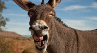 burro-rebuznando